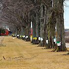Maple Syrup Traditional Tapping by Debbie Oppermann