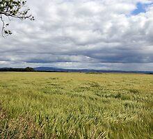 Barley Field Near Kelso by photobymdavey