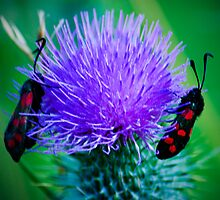 Narrow-bordered Five-spot Burnet by Trevor Patterson