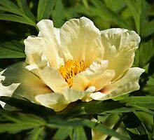 Yellow tree peony  by PhotosByHealy