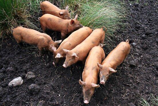 Seven little pigs by John Quinn