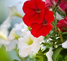 Antique Petunia Flowers by Christina Rollo