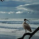 sacred white ibis by carol brandt