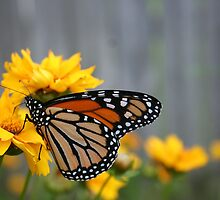 Monarch Butterfly by Sherry Durkin