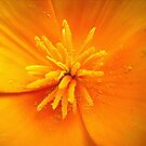 california poppy by Floralynne