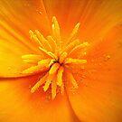 california poppy by Floralynne