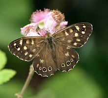 Speckled Wood or Wood Argus by godders