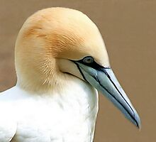 Northern Gannet  by Anne-Marie Bokslag