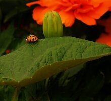 Rambl'n Ladybug  by Richard G Witham