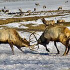 Elk Fight by LarryGambon
