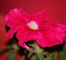 Petunia on fire: by Cherubtree