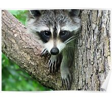 RACCOON PORTRAIT WITH PAWS & CLAWS  Poster