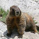 Marmot by Patricia Montgomery