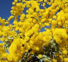 Cootamundra wattle 02 by SharonD