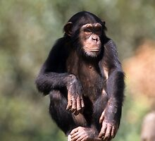 closeup portrait of a Chimpanzee in captivity in a zoo  by PhotoStock-Isra