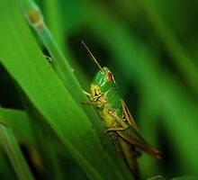 Grasshopper by Simon Pattinson