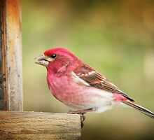 Purple Finch by Gisele Bedard