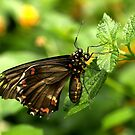 Polydamas Swallowtail by Lisa G. Putman
