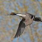 Northern Pintail by tomryan