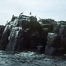 Birds on Farne  Sea Houses Bamburgh Northumberland England 198405280009m  by Fred Mitchell