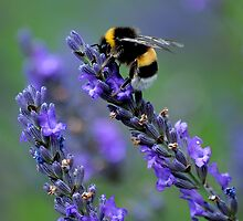 Bee on lavender by cherryannette