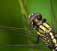 Dragon fly by Dan Davies