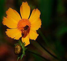 Coreopsis and Bee by Catherine Davis