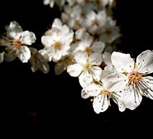 Cherrie Blossoms  by Robbs