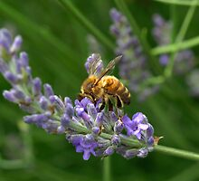 bees love lavender I by photonzoo