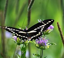 Butterfly  by Vonnie Murfin