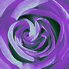 purple rose by SNAPPYDAVE