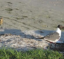 Female Grackle & Laughing Gull by nauticalelf