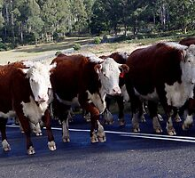 photoj 'Cattle On The Move In Tassie' by photoj