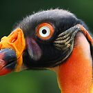 King Vulture Portrait...... by jdmphotography