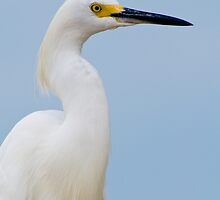 Snowy Egret Profile by Bonnie T.  Barry