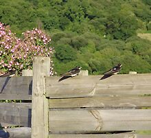 SWALLOWS by brucemlong