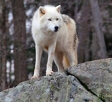 Arctic wolf on hunt  by John44