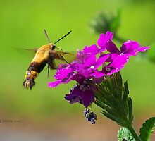 Hummingbird Moth by ChereeCheree