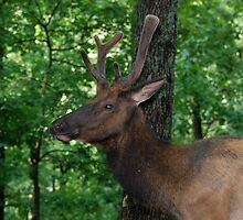 Bull Elk Portrait by Jim Caldwell