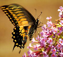 Swallowtail on Butterfly Bush by Ryan Houston