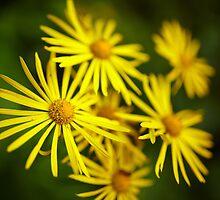 Wild yellow daisies by naturalis