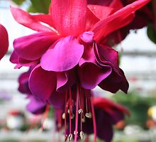 FLORAL SERIES: FUSCHIA by REDREAMER