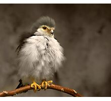 African Pygmy Falcon Photographic Print