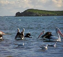 Pelican`s by Daniel Rayfield