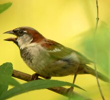 House Sparrow - Beauty in the Commonplace by Ryan Houston