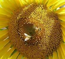 Sunflower & Bees by Marilyn Harris