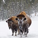 Bison in the Snow, Yellowstone National Park by Gary Lengyel