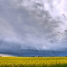 Canola on Stormy Plain by Myron Watamaniuk