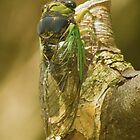 Cicada by Gaby Swanson  Photography