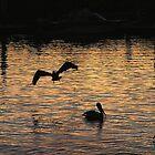 Pelicans in Silhouette by Jamaboop